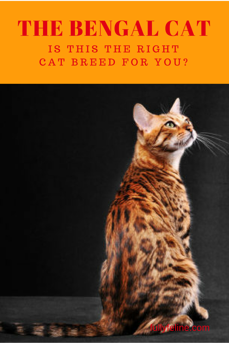 About Cat Breeds The Bengal Cat