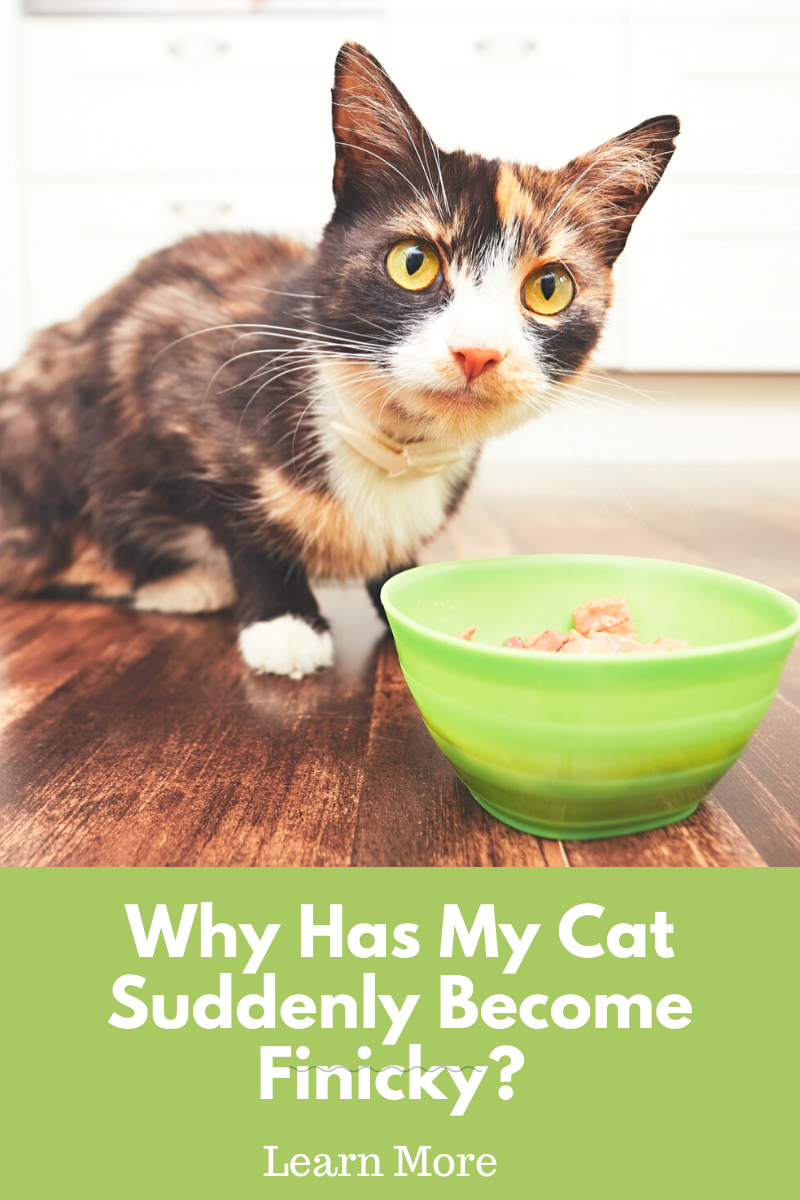 cat next to food bowl not eating due to cat food preferences